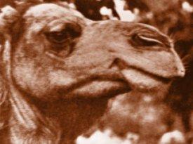 Dromedario (esa criatura de mal genio)